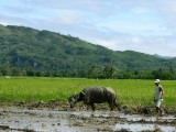 Water buffalo ploughing a rice field